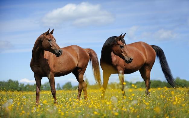 牧草地の2頭の馬