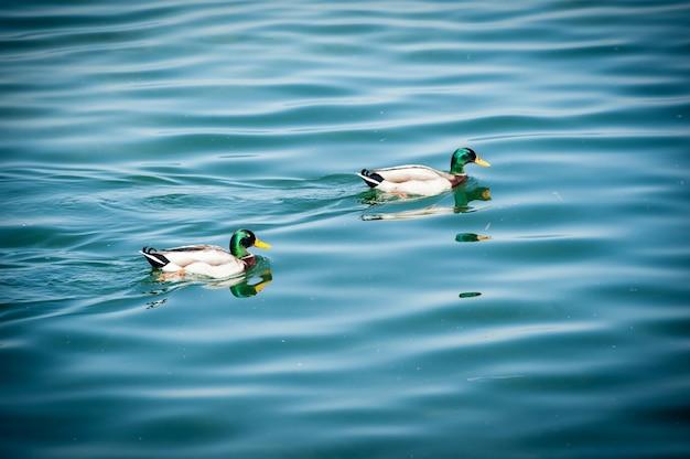 湖の上の2つのアヒル