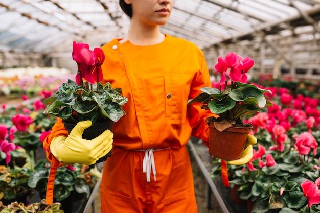 温室に2つのピンクの花の鉢を持っている女性の庭師のクローズアップ
