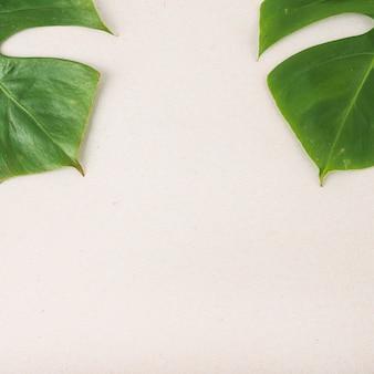 2つの緑のモンステラの葉