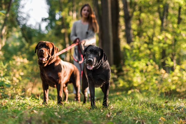 公園で彼女の2つのラブラドールと一緒に歩いている女性