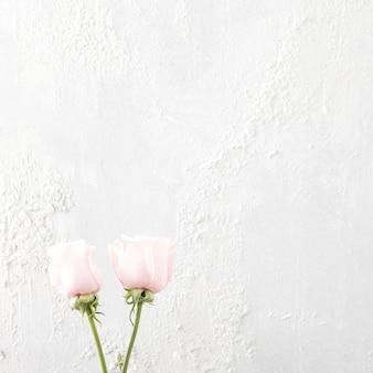 白い背景の上の2つのバラの花