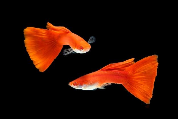 黒の水槽で2つの赤いジッピー魚