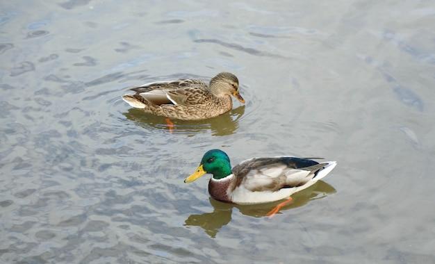 2匹の鴨は春の反射で水上を泳いでいます。