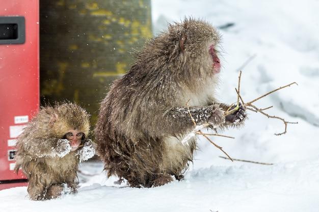 2つの雪の猿は、冬の嵐で木製のスティックニブル