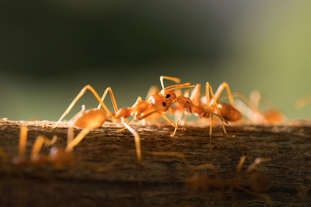 選択的なフォーカス2つの赤い蟻は、木々の日光