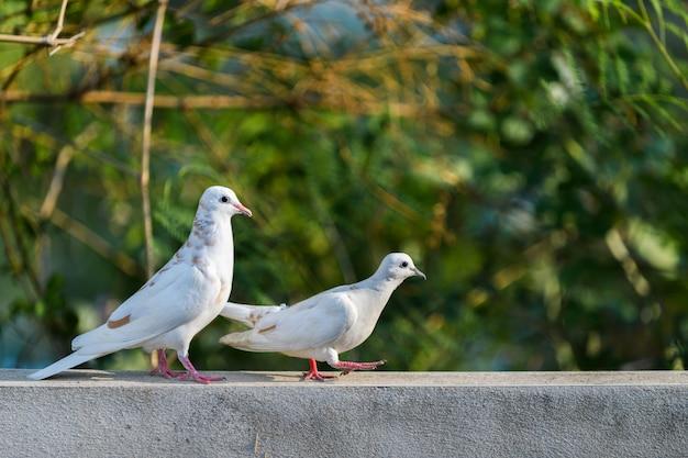 壁の上を歩く2つの白い鳩