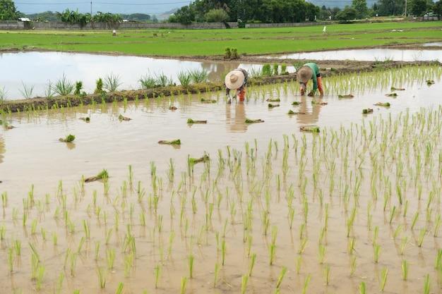 2人の農民が田んぼに田植えをしています。オレンジ色のゴム靴を履いて屋外で作業する人。頭に麦わら帽子をかぶって、太陽を覆います。苗を植えます。