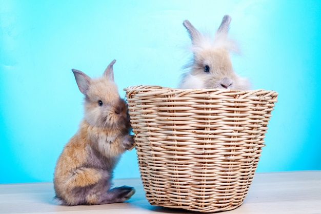 水色の背景のスタジオで撮影した2つの小さな茶色の毛皮ウサギ