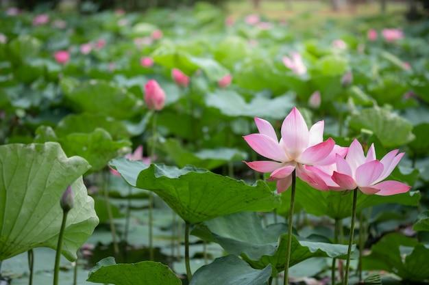 クローズアップ湖の日光と緑の葉が咲く美しい2つのピンクロータス。