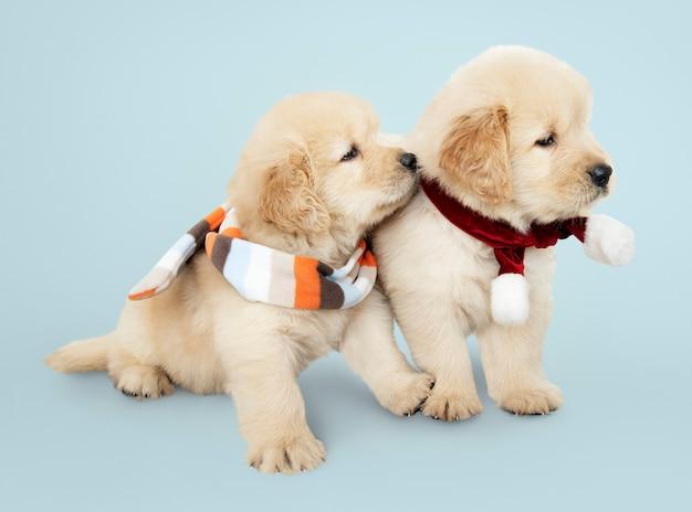 スカーフを着ている2頭のゴールデンレトリーバーの子犬