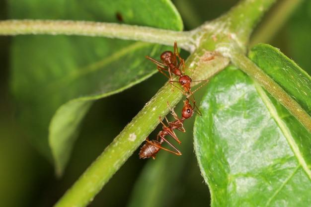 タイで自然の緑の葉に2つの赤アリを閉じる