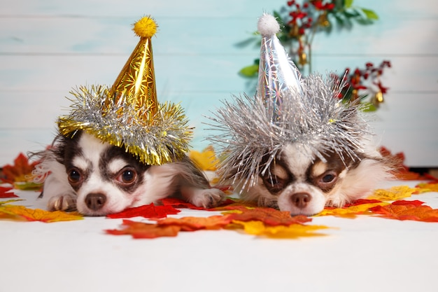 お祝いに新年の円錐形の帽子をかぶっている2つの愛らしいチワワ犬。