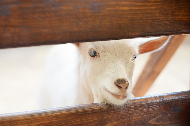 素敵なカップルは、白ヤギの子供を子供します。木製の避難所に立っている2つの小さな白いヤギ