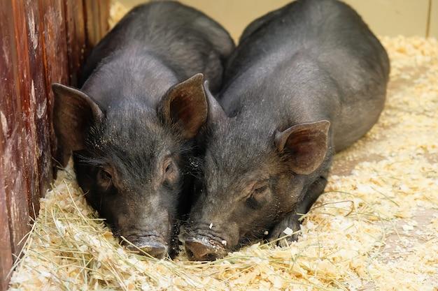 2匹の黒い豚が農場で近くにあります。