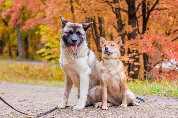 公園を散歩する秋田と芝。散歩に2匹の犬。秋