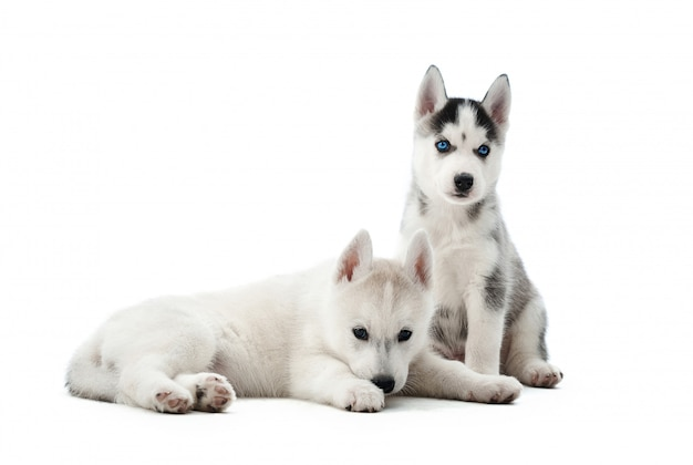 横になっている、床に座っている青い目を持つ2つの小さな子犬シベリアンハスキー犬の肖像画。活動の後、休んでいる、リラックスしている、目をそらしている、面白い小型犬。飼われているペット。