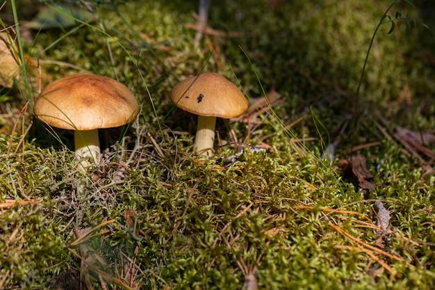 秋の太陽の光の森の空き地で2つのキノコ