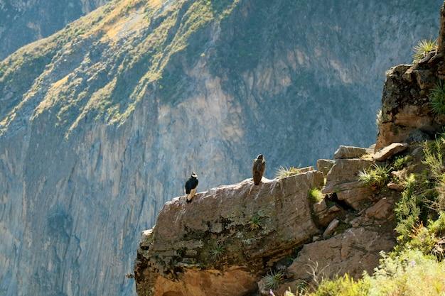 コルカ渓谷の崖の上にとまる2つのアンデスコンドル