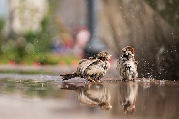 2つの濡れたスズメが暑い夏の日に水を浴びる