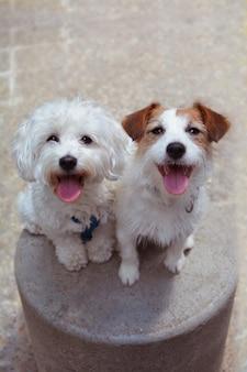 2人の幸せな犬が座って舌を出しています。