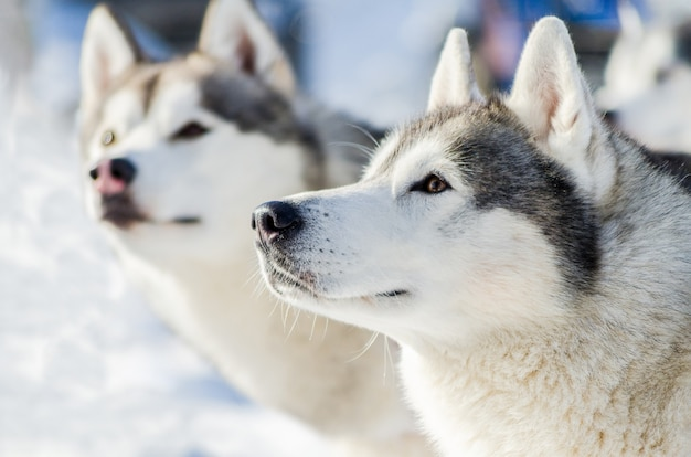 2つのシベリアンハスキー犬の屋外の顔の肖像画。そり犬は、寒い雪の天候でトレーニングを競います。そりとチームワークするための、強くてかわいい、速い純血種の犬。