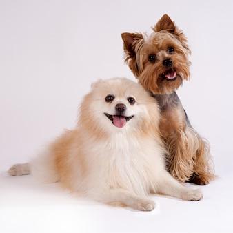 白の2匹の小型犬。ヨークシャーテリアとスピッツ。