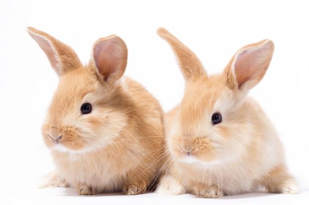 2つの小さなふわふわの赤いウサギ、分離、イースターのウサギ
