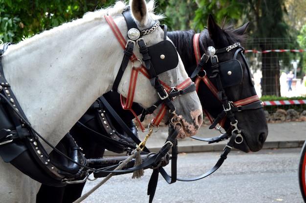 ツーリストの娯楽のために街の中心に立っている黒と白の2頭の美しい馬に引かれて