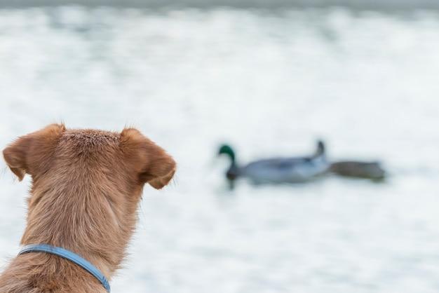 バックグラウンドで2羽のアヒルを見ている犬