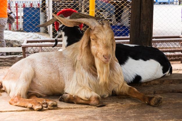 2つの横になっているヤギ