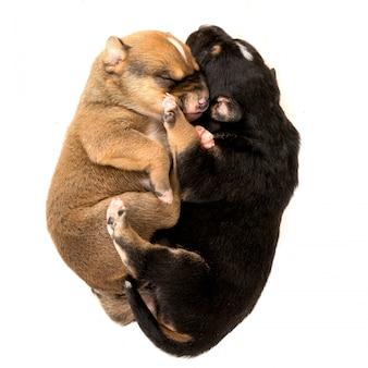白い背景の上に2つの生まれたばかりの子犬
