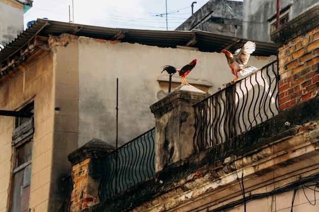 屋根の上で2本の雄鶏が大声で歌う