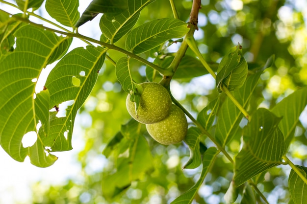 木の枝に成長している2つの緑のクルミをクローズアップ