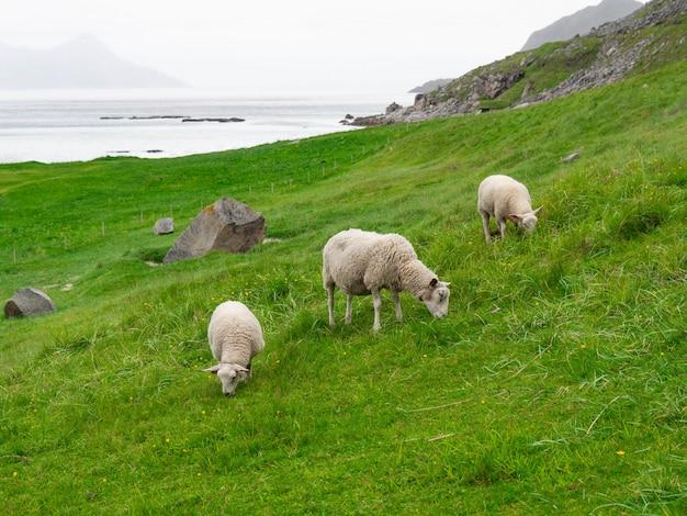 山のノルウェーの海岸で2頭の子羊と羊が放牧されています。