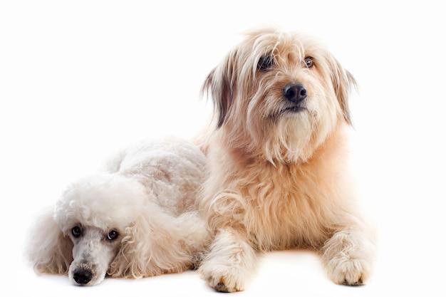 白の2匹の犬