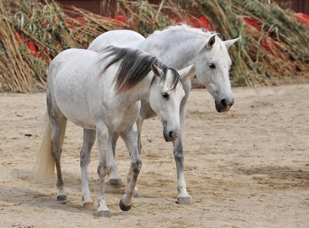 2つの白い馬