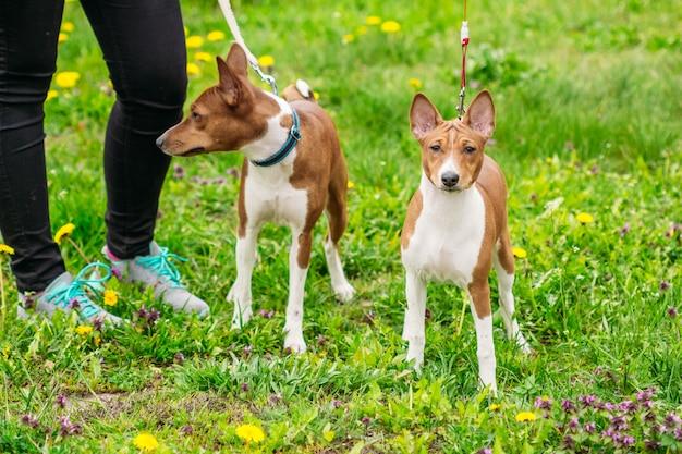 2つの美しい犬バセンジー