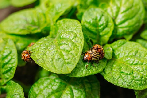 2つのコロラド州のカブトムシと若いジャガイモの葉