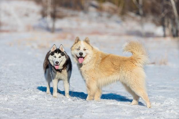 純血種のシベリアンハスキー。雑種のハスキー犬とコーカサス地方の羊飼いの犬。春の雪に覆われた牧草地で、色の異なる目を持つ2匹の犬が隣同士に立っています。