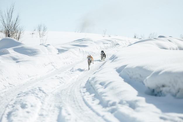 晴れた冬の日に雪に覆われた公園で一緒に屋外で走っている2人の面白いハッピーシベリアンハスキー犬。