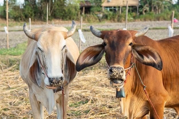 フィールド上の2つの白と茶色の牛