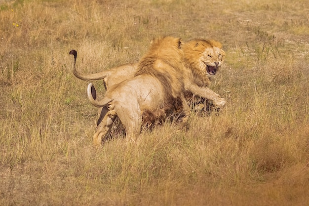 野生の2つのライオンが戦っています。美しいライオンズ