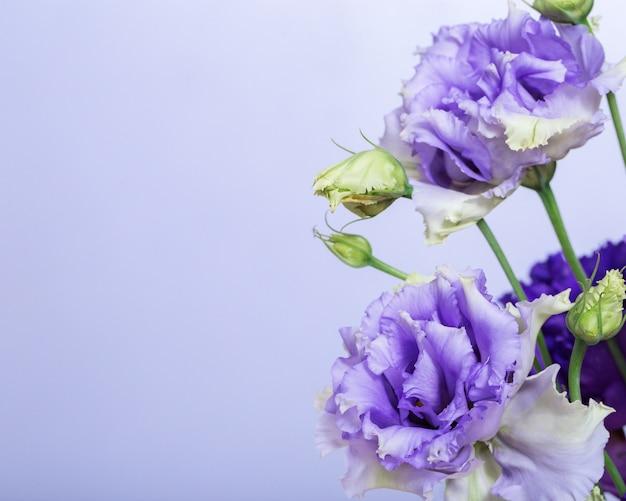 トルコギキョウの新鮮な花の花のボーダー。モノフォニックの背景にコピースペースを持つ2つの青いバラ。
