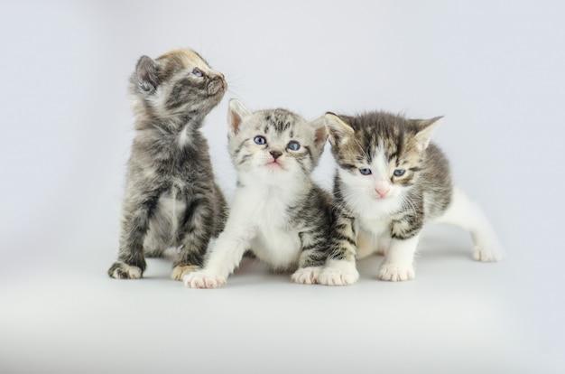 3人のかわいい子猫。スタジオの背景に3つの小さな子猫のグループ