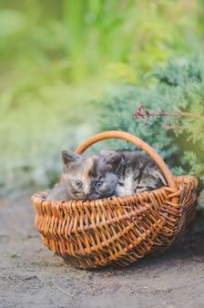 屋外のバスケットに座っている3匹の子猫。 3匹の子猫のグループ