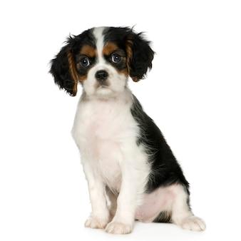 キャバリアキングチャールズスパニエル、3,5か月。分離された犬の肖像画