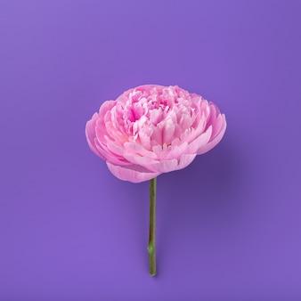 色付きの背景に分離されたパイ中間子。ピンクの優しい柔らかい牡丹の花。 3月8日のスタイリッシュな花。