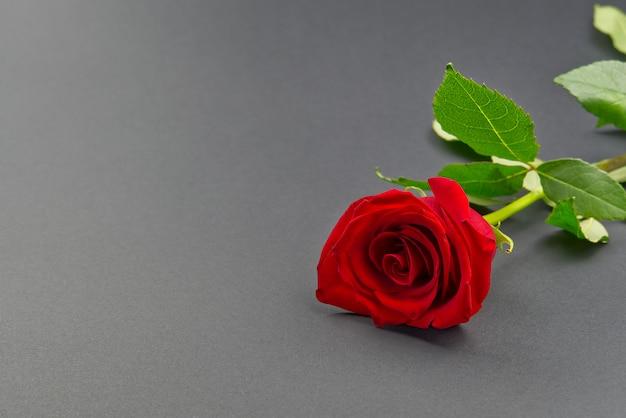 灰色の背景に美しい単一のバラ。聖バレンタインの概念、母の日、3月8日。