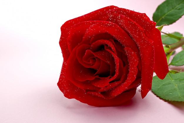 ピンクの背景に美しいシングルローズ。聖バレンタインの概念、母の日、3月8日。